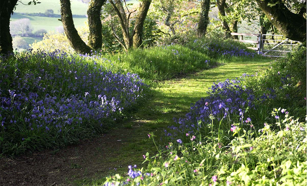 Coed Tregynon, country pathway surrounded by bluebells near Tregynon Farmhouse in Pembrokeshire