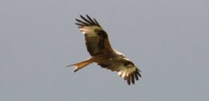 Red Kite flying in the sky over Tregynon Farmhouse, the best place to stay in Pembrokeshire to see amazing wildlife