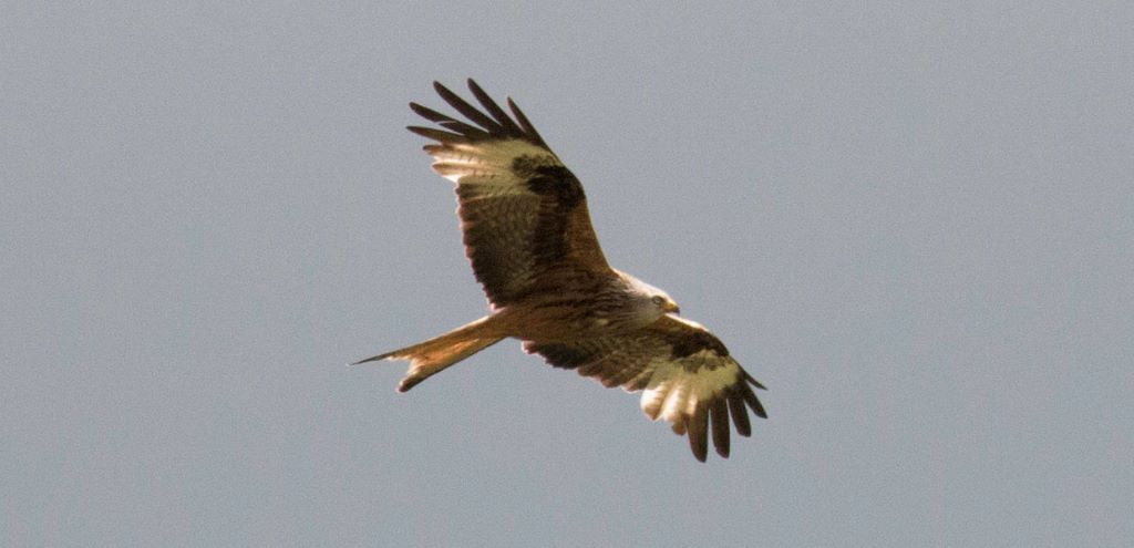 Red Kite flying in the sky over Tregynon Farmhouse